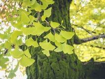 Hojas verdes del Gingko en la naturaleza al aire libre del árbol estacional fotografía de archivo libre de regalías