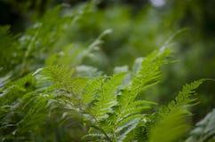 Hojas verdes del helecho Foto de archivo