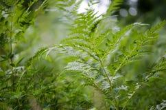 Hojas verdes del helecho Imagen de archivo