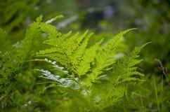 Hojas verdes del helecho Fotografía de archivo