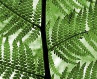 Hojas verdes del helecho Fotografía de archivo libre de regalías