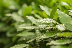 Hojas verdes del laurel con descensos fotos de archivo
