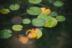 Hojas verdes del lirio de agua en cierre de la charca para arriba imagenes de archivo
