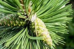 Hojas verdes del pino foto de archivo libre de regalías
