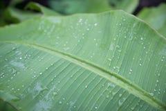 hojas verdes del plátano después de la lluvia Descensos del agua Imagen de archivo