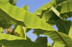 Hojas verdes del plátano en árbol Imagen de archivo