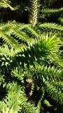 Hojas verdes del spikey Fotos de archivo