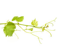 Hojas verdes del vino Fotos de archivo