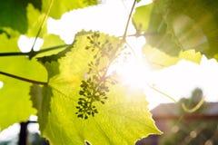 Hojas verdes del vino en granja del país fotos de archivo libres de regalías