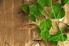 hojas verdes en la pared vieja del cemento. Foto de archivo libre de regalías