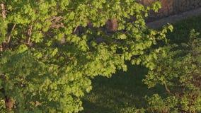 Hojas verdes en las ramas de árboles por la tarde del verano almacen de metraje de vídeo