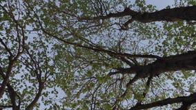 Hojas verdes en las ramas de árboles por la tarde del verano metrajes