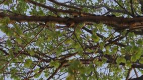 Hojas verdes en las ramas de árboles por la tarde del verano almacen de video