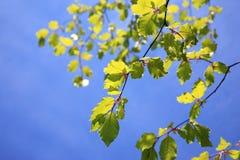 Hojas verdes frescas de la haya Imagen de archivo libre de regalías