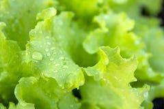 Hojas verdes frescas de la lechuga Foto de archivo libre de regalías