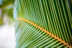Hojas verdes frescas de la palmera Imágenes de archivo libres de regalías