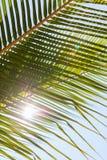 Hojas verdes frescas de la palmera Imagen de archivo libre de regalías