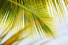 Hojas verdes frescas de la palmera Foto de archivo libre de regalías