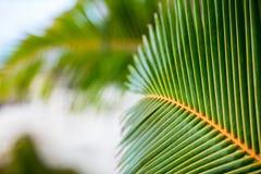 Hojas verdes frescas de la palmera Fotos de archivo libres de regalías