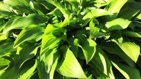 Hojas verdes frescas de la planta del hosta en el jard?n almacen de metraje de vídeo