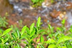 Hojas verdes frescas de la planta de té - Camellia Sinensis contra fondo verde fotos de archivo libres de regalías