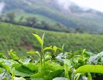 Hojas verdes frescas de la planta de té - Camellia Sinensis - en la plantación de té en Munnar, Kerala, la India fotos de archivo libres de regalías