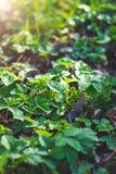 Hojas verdes frescas de la zarzamora con descensos del rocío en un claro del bosque foto de archivo