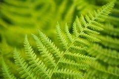 Hojas verdes frescas del helecho Imagen de archivo libre de regalías