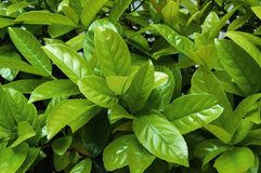 Hojas verdes frescas del limón Fotografía de archivo