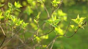 Hojas verdes frescas del resorte Ramificaciones de árbol con las hojas con nublado almacen de video