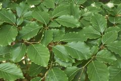 Hojas verdes frescas del sylvatica del Fagus imagenes de archivo