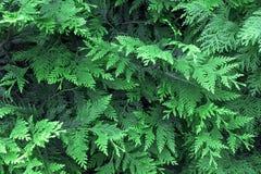 Hojas verdes hermosas de la Navidad de los árboles del Thuja La ramita del Thuja, occidentalis del Thuja es un árbol conífero imp fotografía de archivo