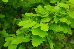 Hojas verdes hermosas de la rama, roble Foto de archivo