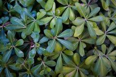 Hojas verdes hermosas de una planta exótica imagenes de archivo