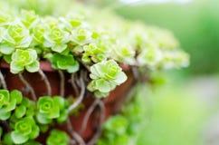 Hojas verdes hermosas del arbusto Imágenes de archivo libres de regalías