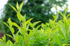 Hojas verdes hermosas del arbusto Fotografía de archivo libre de regalías