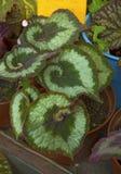 Hojas verdes hermosas, verdes jugosos Fotografía de archivo libre de regalías