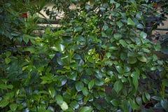 Hojas verdes hermosas, verdes jugosos Foto de archivo libre de regalías