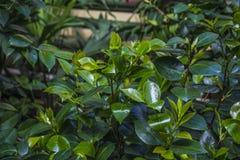 Hojas verdes hermosas, verdes jugosos Foto de archivo