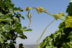 Hojas verdes jovenes de la uva en fondo del cielo Foto de archivo libre de regalías