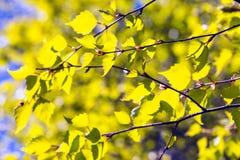 Hojas verdes jovenes del árbol de abedul Imagen de archivo libre de regalías