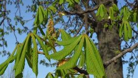 Hojas verdes jovenes del árbol de castaña en primavera temprana