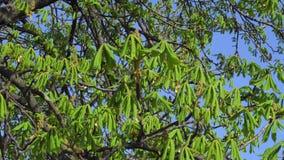 Hojas verdes jovenes del árbol de castaña en primavera temprana almacen de video
