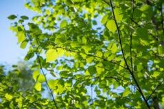 Hojas verdes jovenes del abedul Imagen de archivo