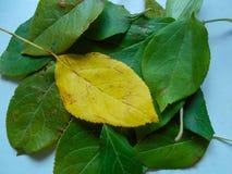 Hojas verdes jovenes del manzano imagen de archivo