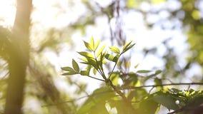 Hojas verdes jovenes soleadas de la primavera del árbol de abedul, fondo estacional del eco natural con el espacio de la copia almacen de metraje de vídeo