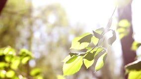 Hojas verdes jovenes soleadas de la primavera del árbol de abedul, fondo estacional del eco natural con el espacio de la copia almacen de video