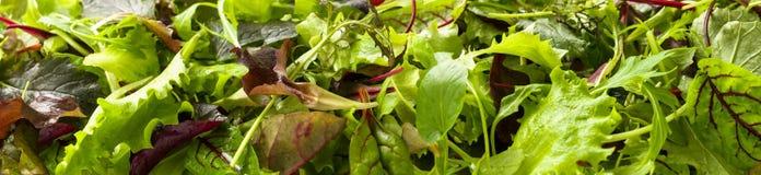 Hojas verdes jugosas frescas de la lechuga y de la remolacha para la comida vegetariana y la dieta, primer, formato panorámico Imagenes de archivo
