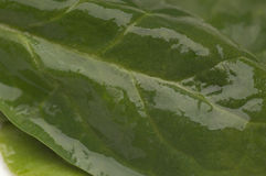Hojas verdes mojadas de la espinaca Foto de archivo