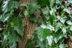 Hojas verdes mojadas de la hélice de Hedera de la hiedra común, o hiedra europea, hiedra inglesa que se arrastra encima del árbol imágenes de archivo libres de regalías